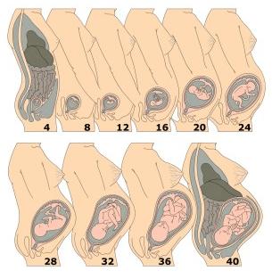 crecimiento del feto en el útero. infografía